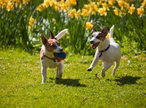 dogs-and-spring